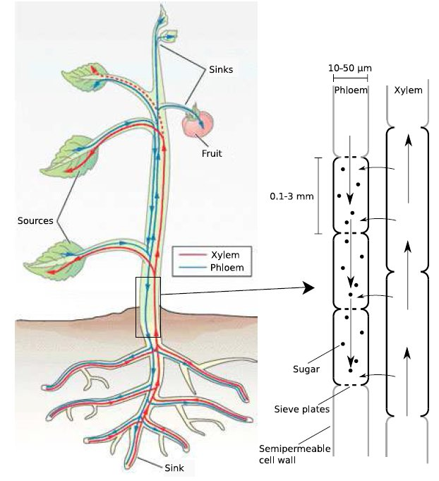 the sap translocation in plants takes place in two separate Xylem And Phloem In Plants